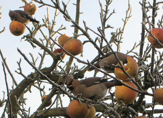 Waxwings Feeding